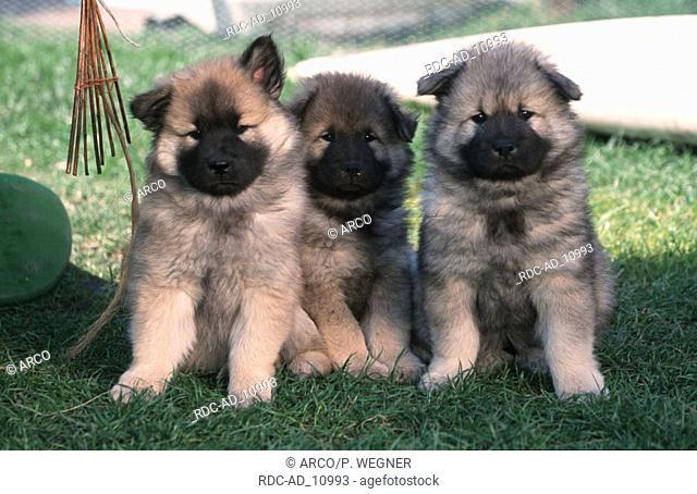 Eurasier puppies 9 weeks