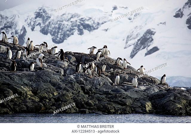 Gentoo Penguins (Pygoscelis papua) at Yelcho Base (Chile) in Paradise Harbour, Antarctic Peninsula; Antarctica
