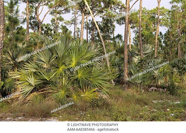 Pine Flatwoods, National Key Deer Refuge, Florida