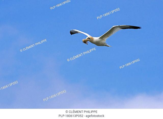 Northern gannet (Morus bassanus) in flight with nesting material in beak for nest building in spring