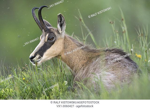 Alpine Chamois (Rupicapra rupicapra) lying in fresh green grass of an alpine meadow, ruminates, wildlife, France, Europe
