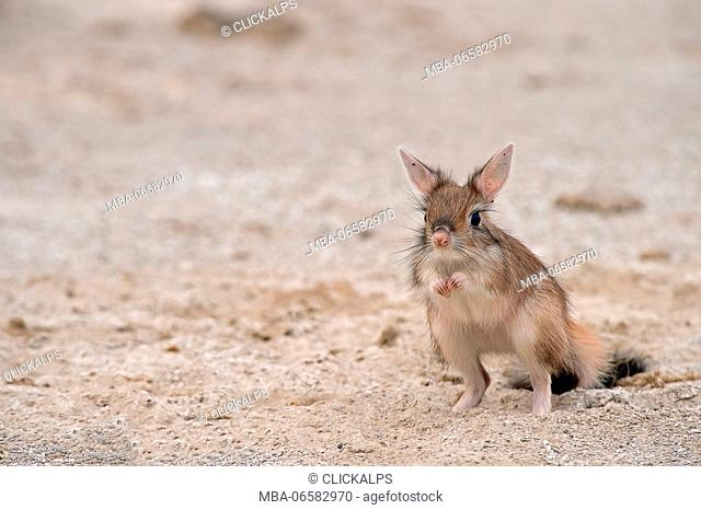 Amboseli Park, Kenya, Africa The Springhare or Cape hare jumper is a small mammal rodent that moves almost exclusively at night