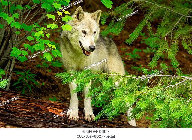 Gray Wolf, Golden, British Columbia, Canada