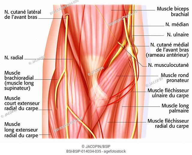 Elbow, anatomy