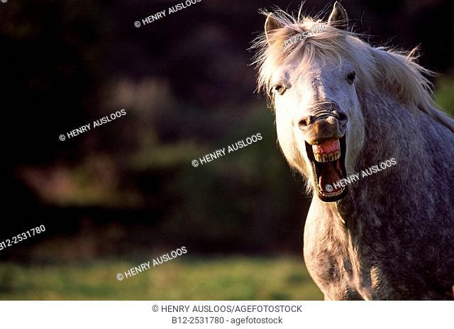 Horse laughing (Equus caballus)