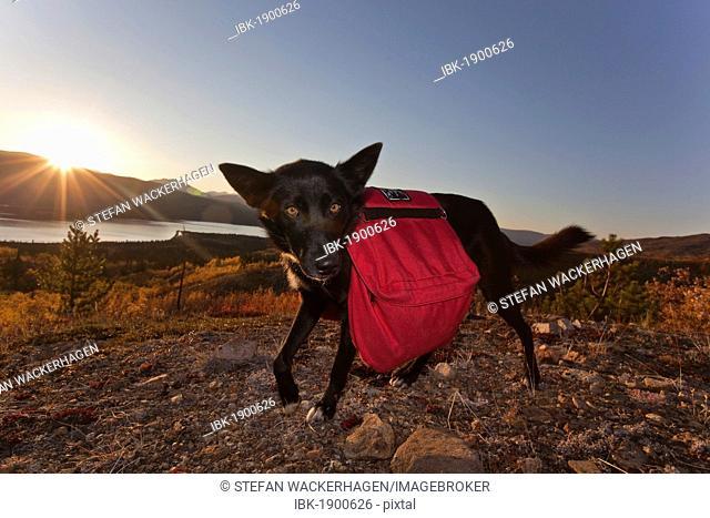 Pack dog, sled dog, Alaskan Husky with back pack, Fish Lake behind, fall colours, Indian Summer, Yukon Territory, Canada, North America