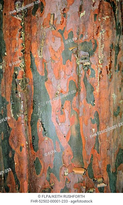 Tecate Cypress Cupressus guadelupensis close-up of bark