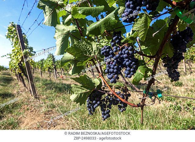 Wine region Slovacko, Blatnice pod Svatym Antoninkem, grapes in the vineyard, South Moravia, Czech Republic, Europe