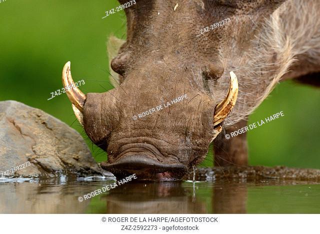 Common warthog (Phacochoerus africanus) drinking. Zimanga Private Game Reserve, Mkuze Estate. KwaZulu Natal. South Africa