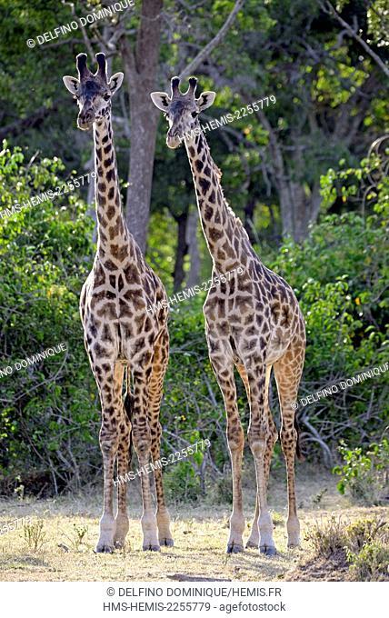Kenya, Masai Mara Reserve, Masai Giraffe (Giraffa camelopardalis)