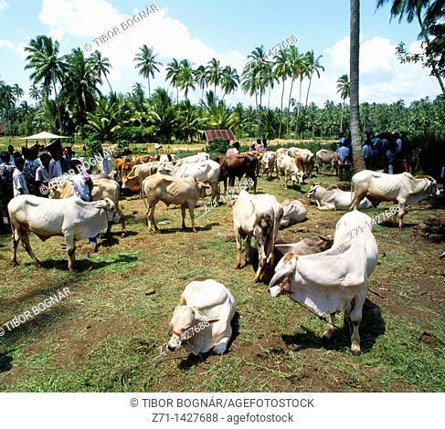 Indonesia, Sumatra, cattle market