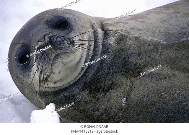 Weddell Seal, Antarctic Peninsula