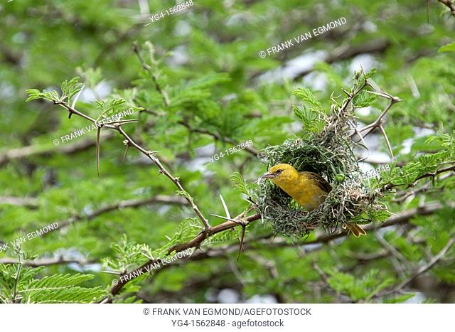 Village Weaver Ploceus cucullatus In the process of building it's nest Mkhuze Game Reserve Kwazulu-Natal, South Africa