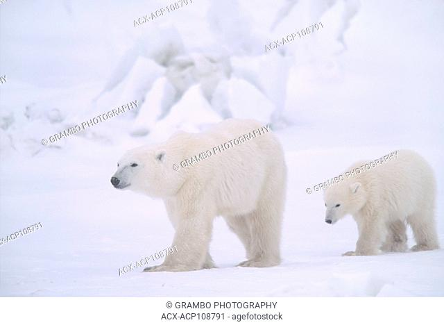 Polar bear mother and cub, Ursus maritimus, near Churchill, Manitoba, Canada