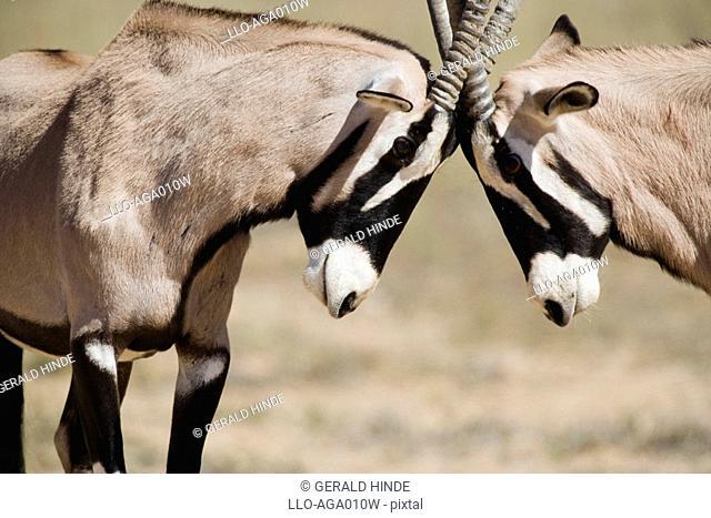 Side View of Gemsbok Oryx gazella Pair Head to Head  Kgalagadi Transfrontier Park, Northern Cape Province, South Africa