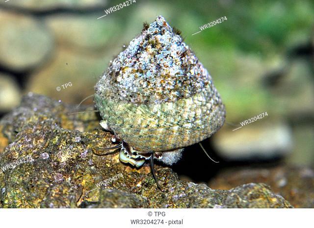 Trochus hanleyanus