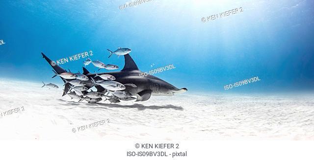 Great hammerhead shark in shoal of fish, Alice Town, Bimini, Bahamas