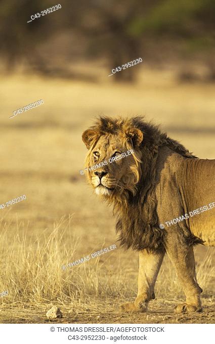 Lion (Panthera leo). Aged black-maned Kalahari male. Kalahari Desert, Kgalagadi Transfrontier Park, South Africa