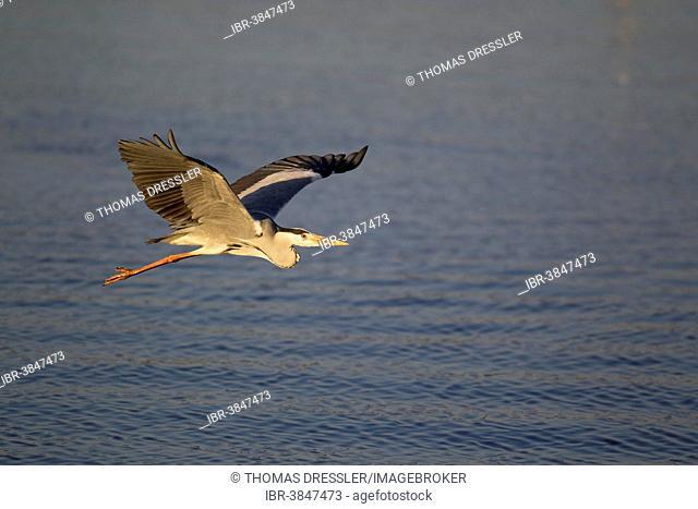Grey Heron (Ardea cinerea), flying across Sunset Dam, Kruger National Park, South Africa