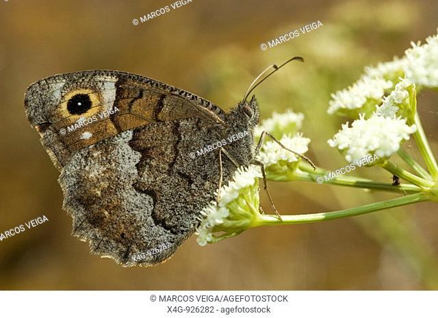 Mariposa Sátiro moreno Tree Grayling butterfly Hipparchia statilinus