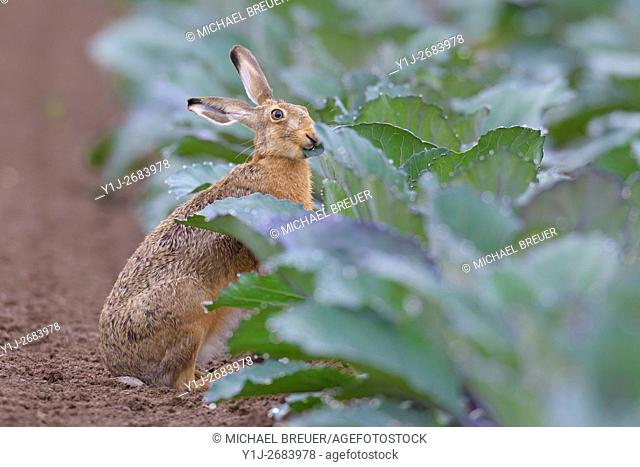 European Brown Hare (Lepus europaeus) in Red Cabbage Field, Summer, Hesse, Germany, Europe