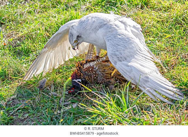 northern goshawk (Accipiter gentilis), albino caught a pheasant
