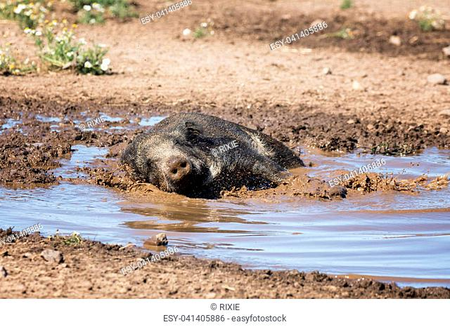 Wild boar taking a mud bath to cool down on a summer day
