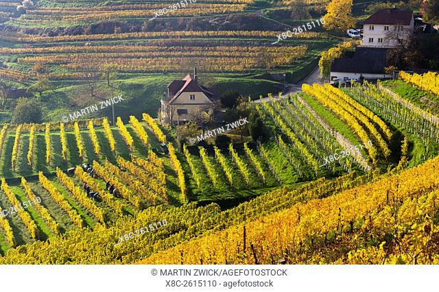 Grape Harvest by traditional hand picking in the Wachau area of Austria. The Wachau is a famous vineyard and listed as Wachau Cultural Landscape as UNESCO World...