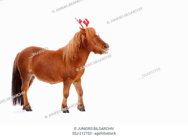 Shetland Pony. Chestnut mare standing, wearing antlers. Studio picture against a white background. Germany
