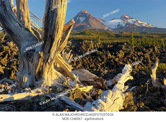 Sun bleached trees stand out among the black lava fields of McKenzie Pass Oregon  The Three Sisters volcanoes are in the distance