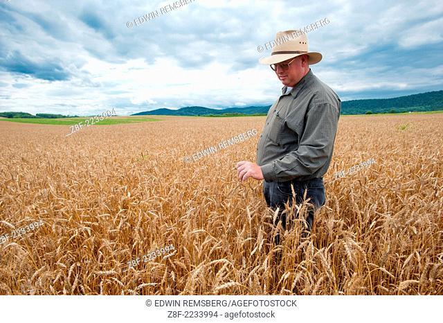 Grain farmer in field of grain inspecting crop