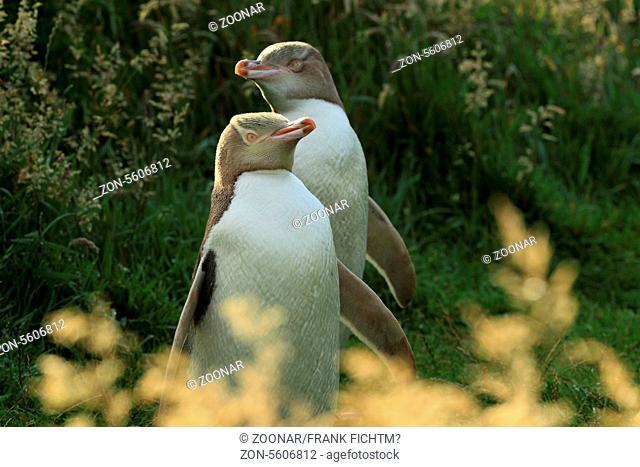 Gelbaugenpinguin Neuseeland