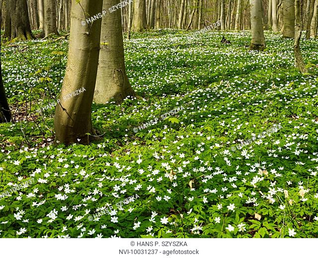 Windflower in Hainich National Park, Thuringia, Germany