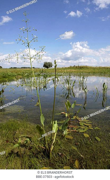 Alisma ( Alisma plantago-aquatica) growing in shallow water