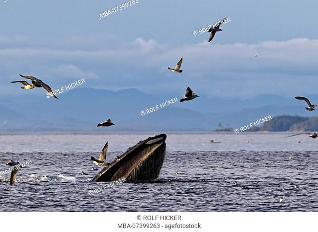 Humpback whale (Megaptera novaengliae) trap feeding in front of the British Columbia Coastal Mountains in Queen Charlotte Strait off Vancouver Island
