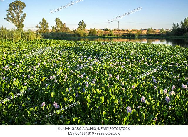 Highly invasive water hyacinth, taking over most of course at Guadiana River, near Badajoz, Spain. Eichhornia crassipes