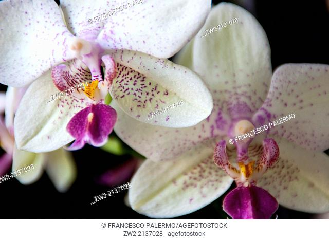 Orchids on black background. Vigevano, Lombardia. Italy