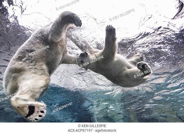 Polar Bears playing underwater at the Journey to Churchill, Assiniboine Park Zoo, Winnipeg, Manitoba, Canada