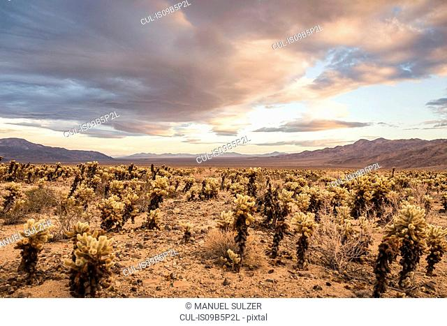 Landscape view with cacti in Joshua Tree National Park at dusk, California, USA