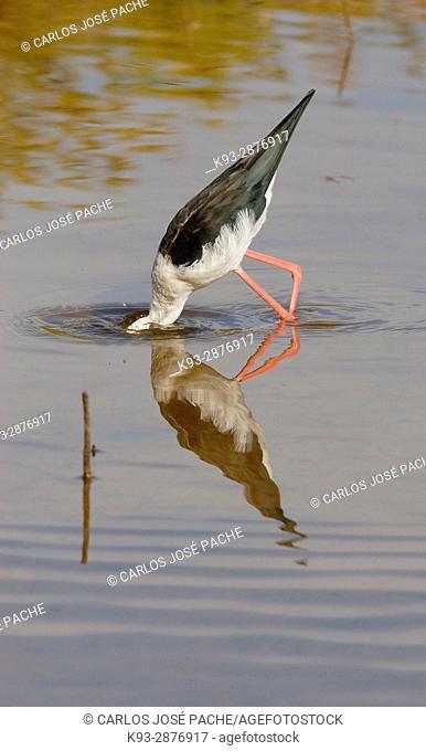 Adult Black-winged stilt (Himantopus himantopus), Spain
