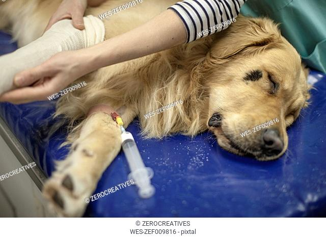 Dog in surgery