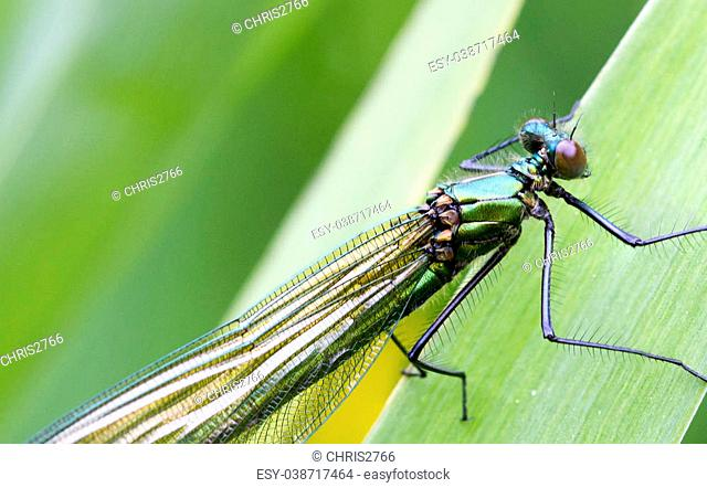 female Banded Demoiselle (Calopteryx splendens) perched on a leaf