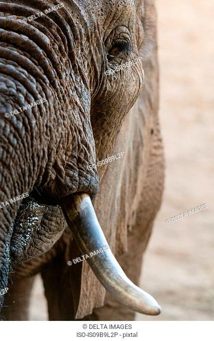 Portrait of an African elephant (Loxodonta africana), Tsavo, Kenya, Africa