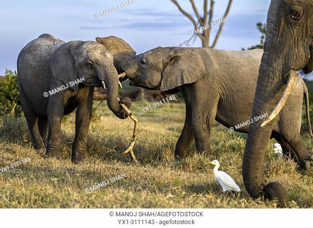 African Elephants playing in Ol Pjeta, Laikipia