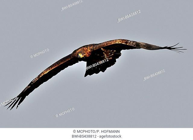 golden eagle (Aquila chrysaetos), flying, Germany