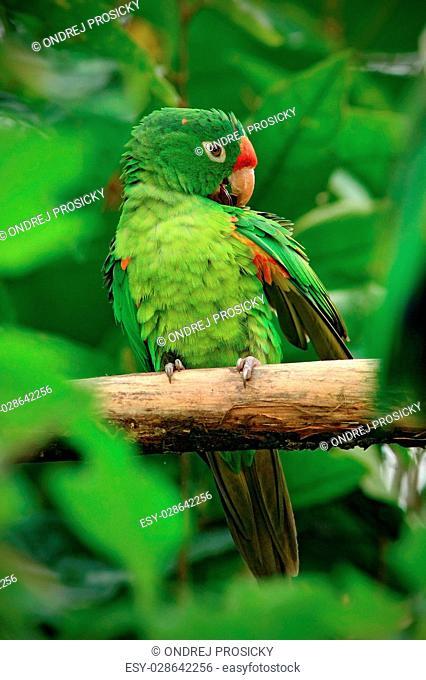 Beautiful green parrot Finsch's parakeet, Aratinga finschi