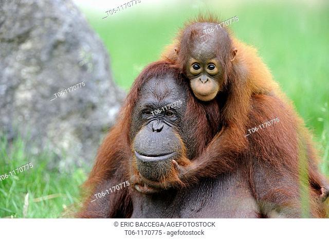 Orang utan Pongo pygmaeus pygmaeus Mother with baby native to Bornéo, captive, Endangered