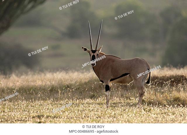 East African Oryx (Oryx beisa), Borana Ranch, Kenya