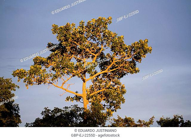 Tree in Getting late, Terenos, Mato Grosso do Sul, Brazil