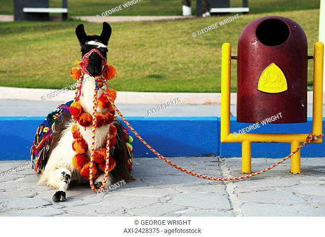Llama dressed in decorative blanket and pompoms sitting tethered; Chimbote, Peru